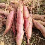 相模湖でサツマイモ収穫体験!─コメカフェ農園