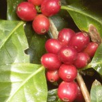 美味しくて安心、アジアや中南米の有機農業者を支えるフェアトレードのコーヒーや紅茶-ウインドファームの取り組み