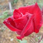 第49回スーパーマーケット・トレードショー2015に行ってきた!vol. 3  食材としての薔薇を作っている奥出雲薔薇園