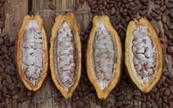 cacao_pot