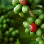 QRコードで、あなたのコーヒーの生産された農園からカップまでサーチできるカフェインフリーの「エシカルビーンコーヒー」