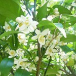 「甘夏ネロリ花摘みツアー2016」参加者募集。森のアロマを堪能する宿泊ツアーも。