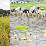 有機栽培・アイガモ農法の田んぼで田植え体験。〈ビオ・マルシェの宅配〉能勢リサーチファーム