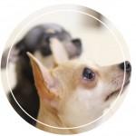 「化粧品」として日本初の製品化!犬用シャンプー&ヘアオイル『コンフィダンテ』