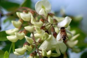 mi-acacia-bee-image