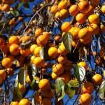 食べて身体の中から美しく。オーガニックコスメの〈フルーツルーツ〉から 国産無添加ドライフルーツ『柿』発売