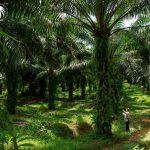 持続可能なパーム油を目指して。生産者ダーボン社が世界初の「RSPOネクスト」認証を取得