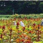【OLE2017】新規就農者応援ゾーン/農薬不使用で雑穀作物を栽培する「あきた雑穀村」