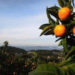和歌山のイベファームが新規就農者応援ゾーンに初登場。有機肥料さえ使わない「自然栽培」の柑橘類とストレートジュース