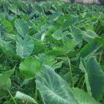 首都圏初の日本農業遺産『落ち葉堆肥農法』の認定地域・埼玉県三芳町で野菜づくりに取り組む冨田農園