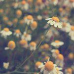 【自然療法家 宮本ちほのナチュラルライフ Vol.2】ゆれ動く心と肌のために ー 初春のカモミール薬草セラピー