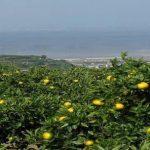 有機みかんの生産面積、生産量ともに日本一!佐賀県鹿島市で有機柑橘類を生産販売する佐藤農場