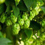 6月18日(月) 美にうれしい、オーガニッククラフトビールBeauty Organic Hop<DHEAVA>新発売