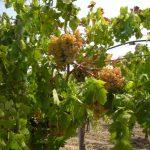 【OLE2018】イタリアワイン専門店《ナーズヴィーノ》が紹介するシチリアとマルケ州のオーガニックワイン