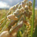 【OLE2018】やっぱり日本人には美味しいごはん! 農薬不使用ササニシキ栽培農家「田伝むし」