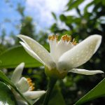 熊本産甘夏ミカンの花とダマスクローズでつくられたオーガニック100%のCOSMOS認証コスメ。organic spaceから新発売